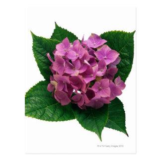 Hydrangea 5 postcard