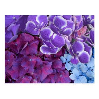Hydrangea Blossoms Postcard