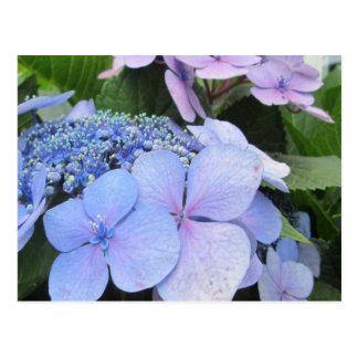 Hydrangea Blue Purple Pretty Flower Postcard