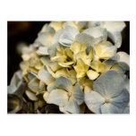 Hydrangea Flower Post Card