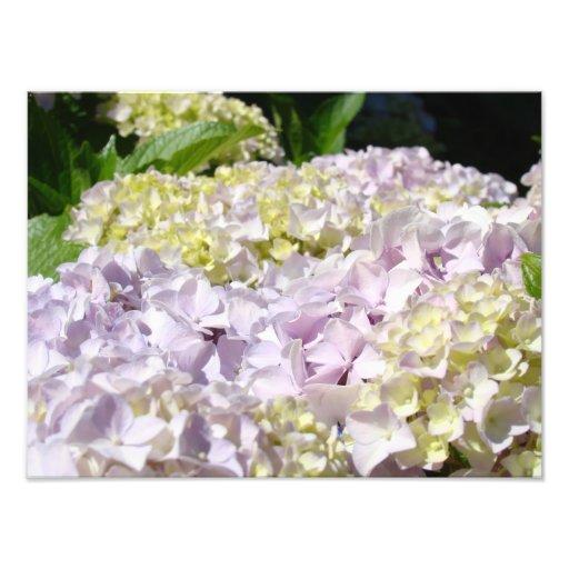 Hydrangea Garden Floral Photography art prints Photo