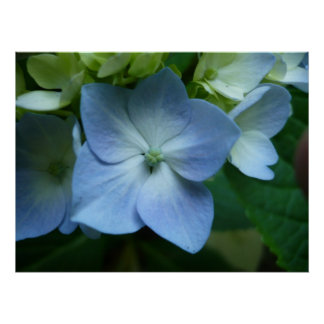 Hydrangea in Bloom Poster