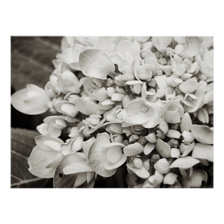 Hydrangea Macro Black and White Photography Poster