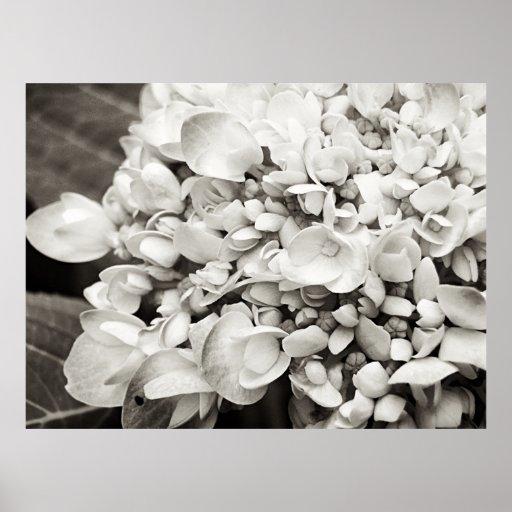 Hydrangea Macro Black and White Photography Poster