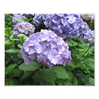 Hydrangeas at Trebah Gardens, Cornwall Photo Print