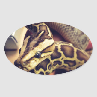 Hypo baby burmese python photo design. oval sticker