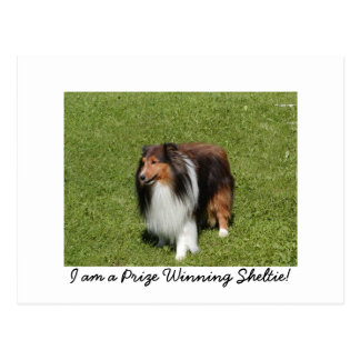 I am a Prize Winning Sheltie! Postcard
