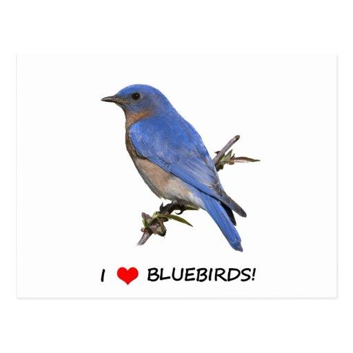 I Love (heart) Bluebirds Postcard