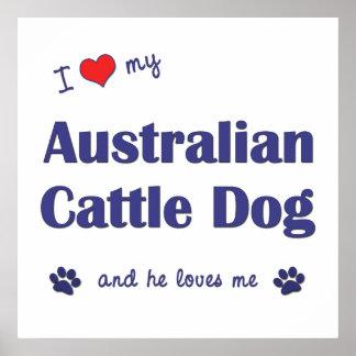I Love My Australian Cattle Dog Male Dog Posters
