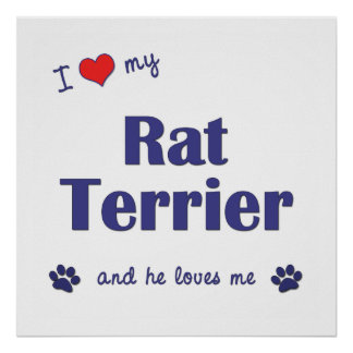 I Love My Rat Terrier (Male Dog) Poster