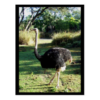 I Spy an Ostrich Post Cards