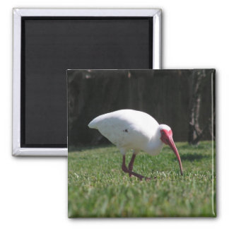Ibis on the prowl refrigerator magnets