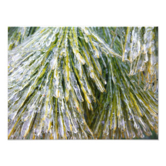 Ice-Coated Pine Needles Winter Nature Photography Photo Print