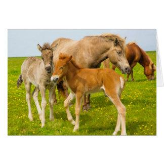 Iceland. Dyrholaey. Icelandic horse foals Card