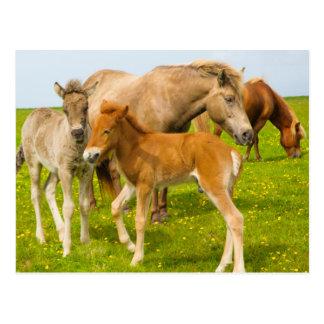 Iceland. Dyrholaey. Icelandic horse foals Postcard