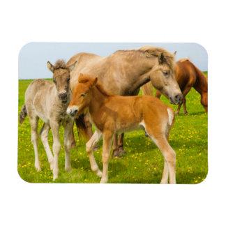 Iceland. Dyrholaey. Icelandic horse foals Rectangular Photo Magnet