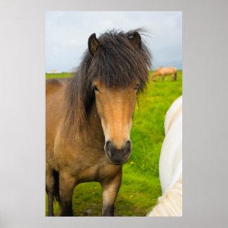 Iceland. Dyrholaey. Icelandic horses on a farm Poster