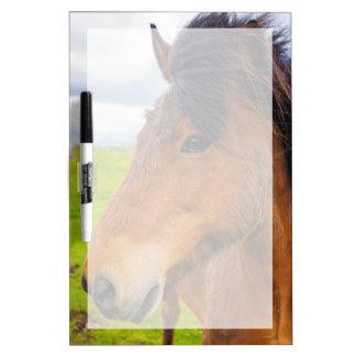 Iceland. Eyrarbakki. Icelandic horse Dry Erase Board