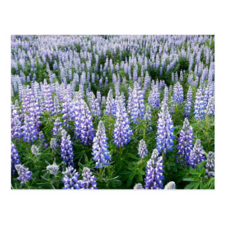 Iceland lupins post cards