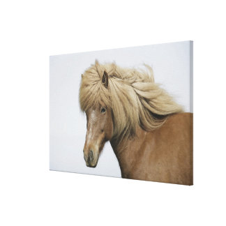 Iceland. Portrait of an Icelandic horse. Canvas Print