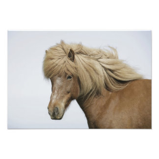 Iceland. Portrait of an Icelandic horse. Photo Print