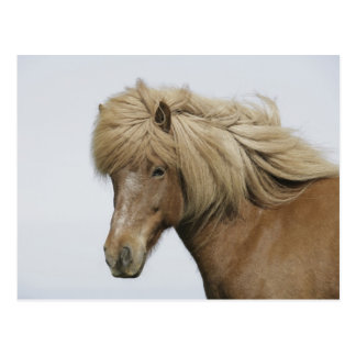 Iceland. Portrait of an Icelandic horse. Postcard