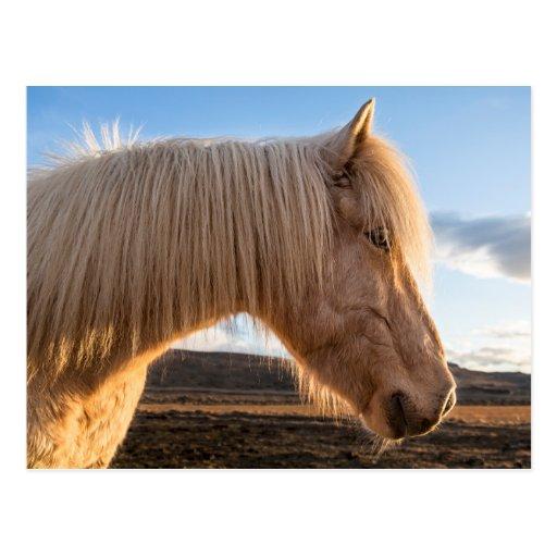 Iceland. Portrait Of Icelandic Horse Post Cards