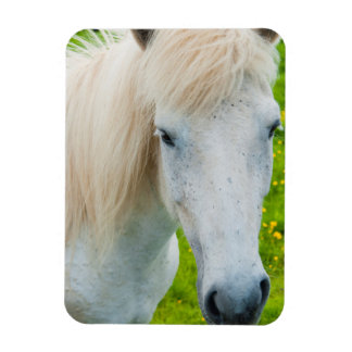 Iceland. South Region. Selfoss. Icelandic horse 2 Rectangular Photo Magnet