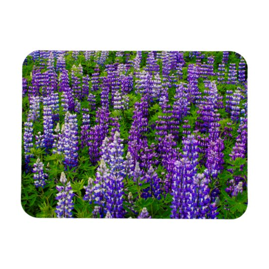Iceland. Vik i Myrdal. Field of Lupines Rectangular Photo Magnet