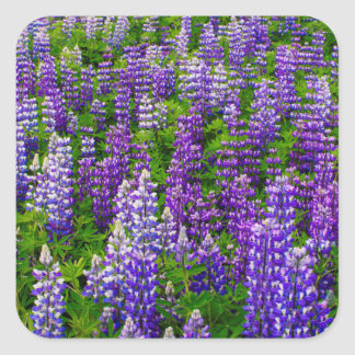 Iceland. Vik i Myrdal. Field of Lupines Square Sticker