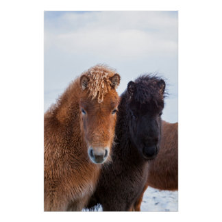 Icelandic Horse during winter on Iceland 2 Poster