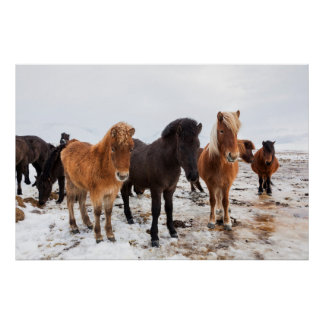 Icelandic Horse during winter on Iceland Poster