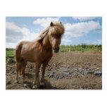 Icelandic Horse II Postcard