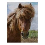 Icelandic Horse III Postcards
