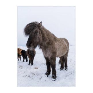 Icelandic Horse in Winter Coat Acrylic Wall Art