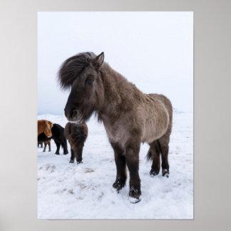 Icelandic Horse in Winter Coat Poster