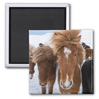 Icelandic Horse with Star Magnet