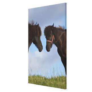 Icelandic horses facing each other canvas print