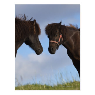Icelandic horses facing each other postcard