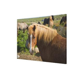 Icelandic Horses in northeastern Iceland. Canvas Print