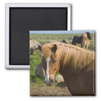 Icelandic Horses in northeastern Iceland. Magnet