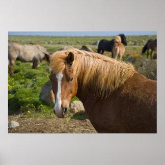 Icelandic Horses in northeastern Iceland. Poster