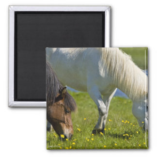 Icelandic Horses in western Iceland. Magnet
