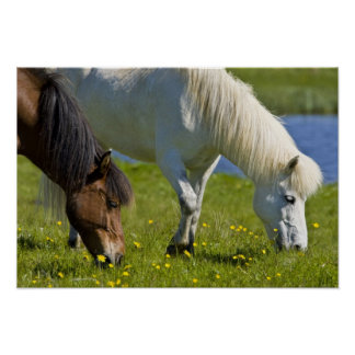 Icelandic Horses in western Iceland. Poster