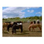 Icelandic Horses Post Card