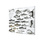 Ichthyology, Osseous Fishes, Marisipobranchs Canvas Print