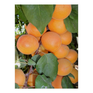 Idaho Apricots Poster