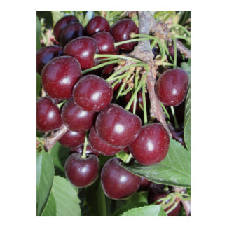Idaho Bing Cherries Poster