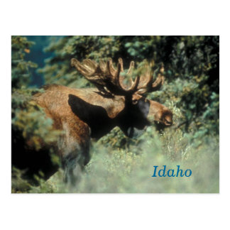 Idaho bull moose postcard