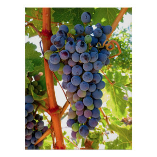 Idaho Concord Grapes Poster